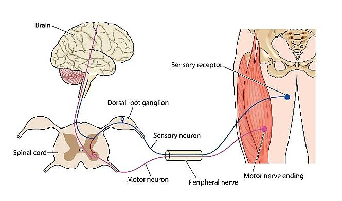 A diagram showing how ALS can disturb the transmission of motor signals from the brain to muscles