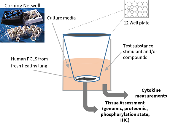 Diagram showing the set up for precision-cut lung slices or PCLS
