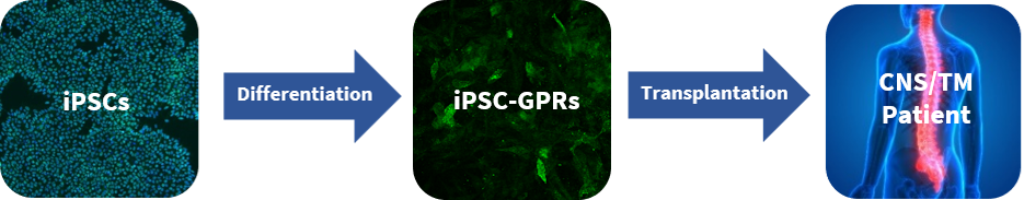 Flow diagram showing how iPSC-GPRs can be used therpeutically.