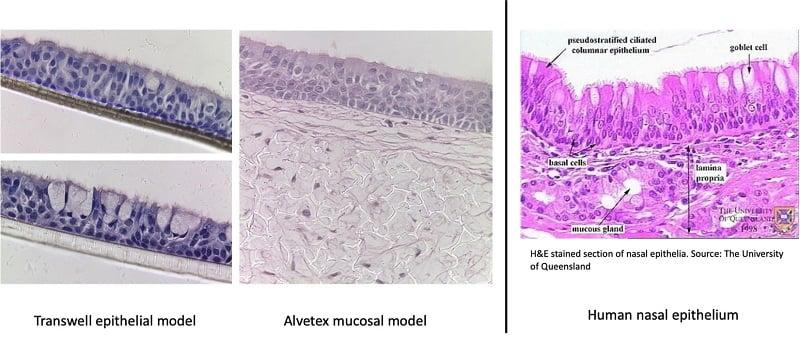 Nasal mucosa recreated using Alvetex scaffold