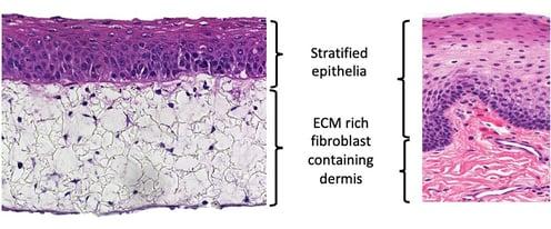 Oral or buccal mucosa recreated using Alvetex scaffold