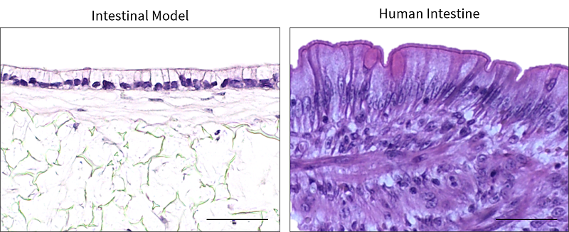 Picture 2 Alvetex instestinal model looks like real intestinal tissues