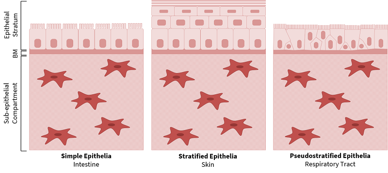 Picture1 3 types of epithelium and their uses