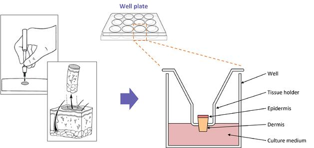 The set up for a typical full-thickbness human skin tissue explant experiment-1