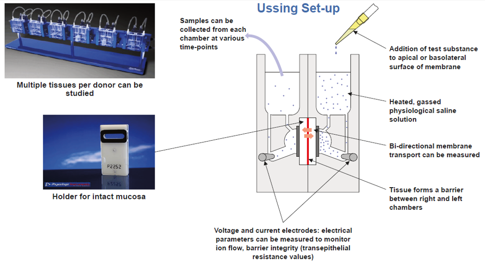 Ussing Chamber Set up Diagram