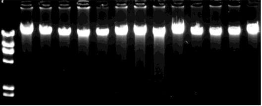 agarose-gel-analysis-1