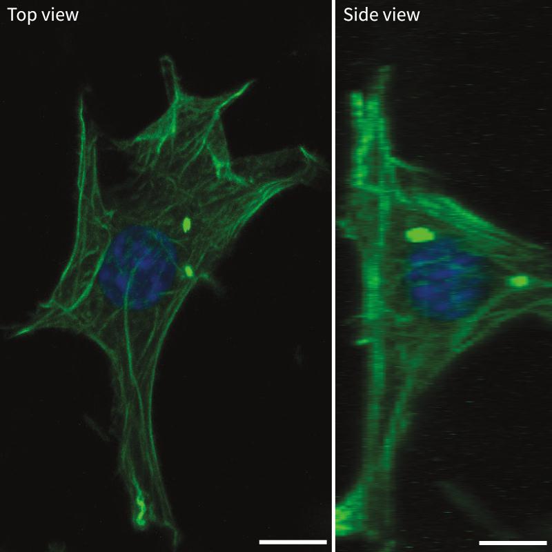 alvetex-science-3t3-actin