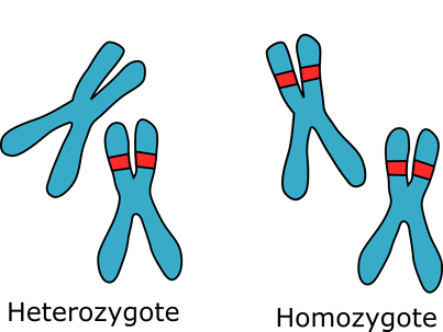 An illustration of homozgous and heterozygous chromosomes