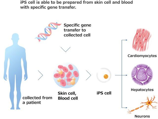ir-ips-cells-1
