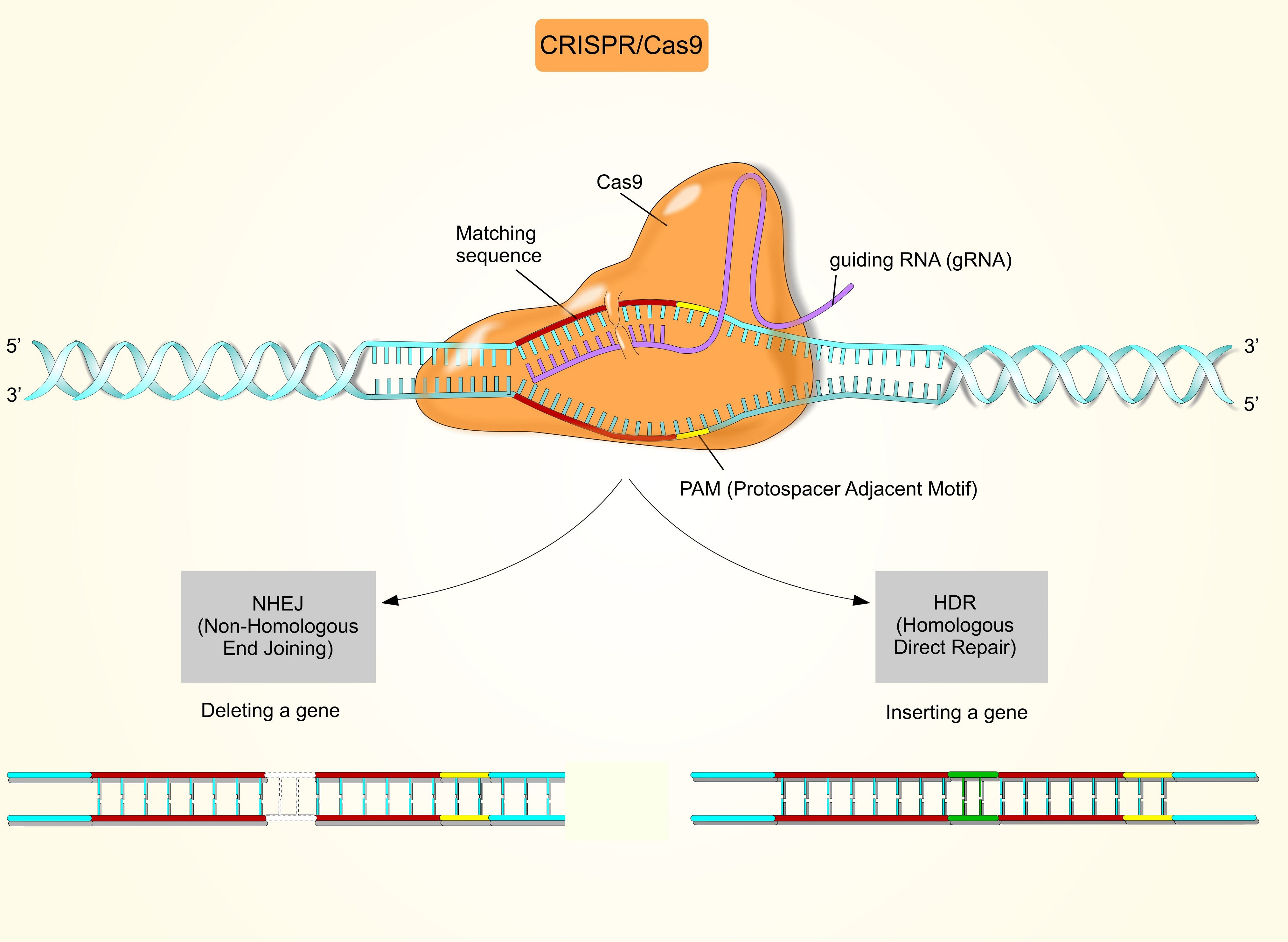 How digital PCR can improve CRISPR gene editing (with examples)